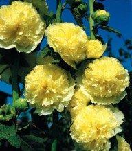 kwiaty-wieloletnie-do-ogrodu_m-7633480