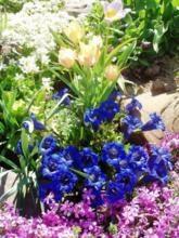 kwiaty-wieloletnie-na-skalniak_m-5606291