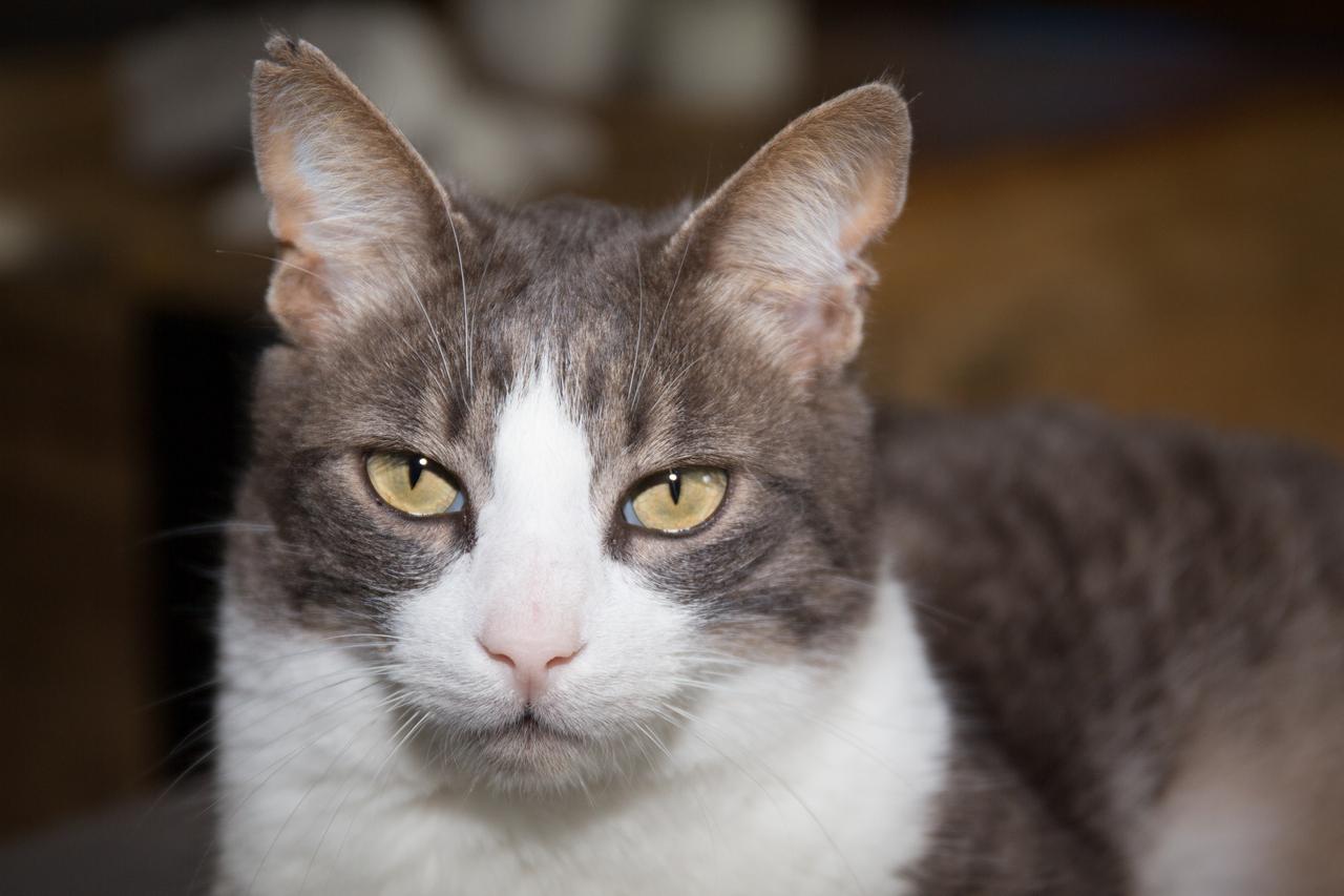 Kot amerykański szorstkowłosy (american wirehair)